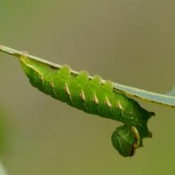 eikentandvlinder