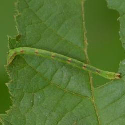melkwitte zomervlinder