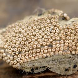 nachtvlinder witvlakvlinder