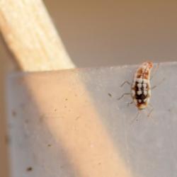larve van een dwerggaasvlieg