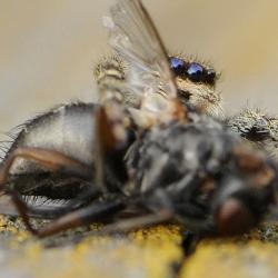 schorsmarpissa met vlieg