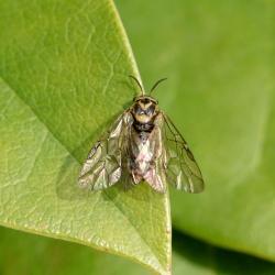 bladwesp Gilpinia frutetorum