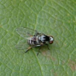 Kleine elfenbankjesbreedvoet vlieg vrouw