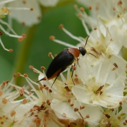 spartelkever Mordellochroa abdominalis