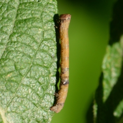 hagedoornvlinder