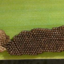 slijkvlieg eieren