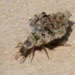 larve gaasvlieg