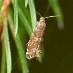 microvlinder onbekend