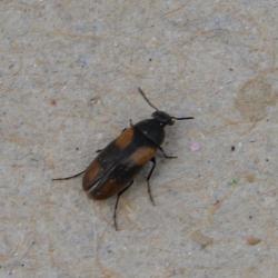 Anaspis fasciata