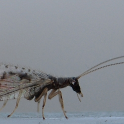 gaasvlieg micromus variegatus