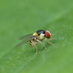 mineervlieg (Agromyzidae)