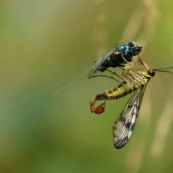 schorpioenvlieg met prooi van spin