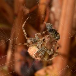 spin met prooi