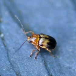 cryptocephalus pusillus