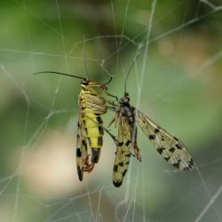 duitse schorpioenvlieg eet schorpioenvlieg