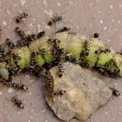 mieren met rups