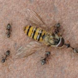 mieren met snorzweefvlieg