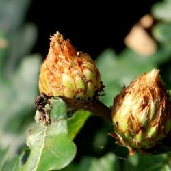 ananasgal of eikenroosje