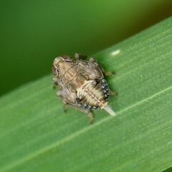 nimf cicade issus
