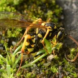 wesp larven eileggend