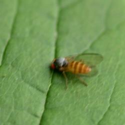 vlieg vrouwtje