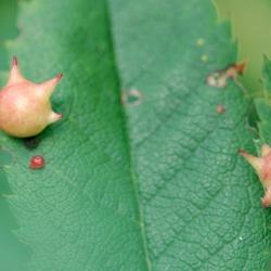 gallen op rozenblaadjes