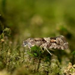 2018.04 witvleugeloogbladroller (Epinotia pygmaeana) site.jpg