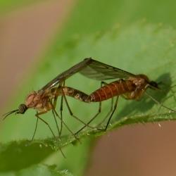 venstermuggen parend