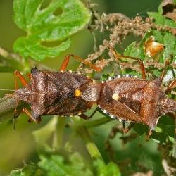 roodpootschildwantsen parend