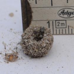mierenleeuw cocon