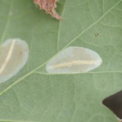 bladwesplarve
