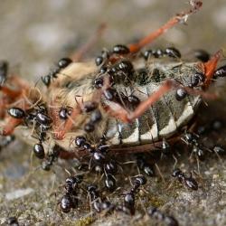 mieren met meikever