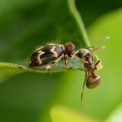 ptinus rufifes en mier