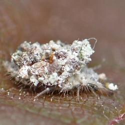 franjegaasvlieg larve