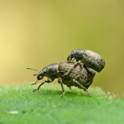 grauwbruine dennensnuitkevers