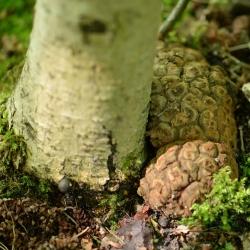 truffelgalwesp voet eikenboom