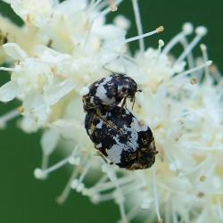 museumkevers