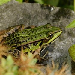 kikker groene
