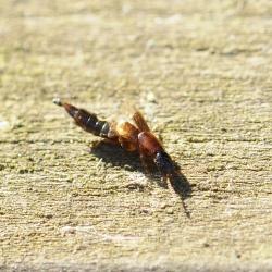Sunius cf melanocephalus