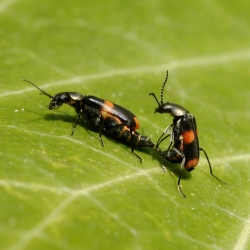 Dubbel gevlekte bastaardweekschildkevers