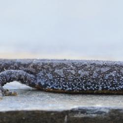 alpenwatersalamander detail