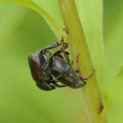 kleine julikevers