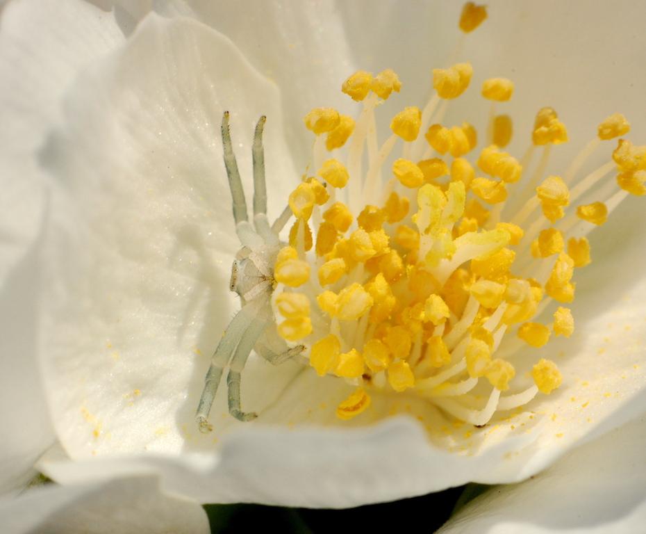 dodelijke bloem