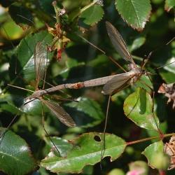langpootmuggen onbekend