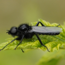 rouwvlieg