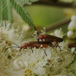 bruine soldaatjes weekschildkevers
