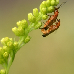 rode weekschildkevers