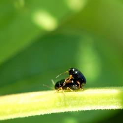 bladhaantjes