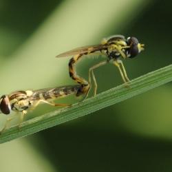 langlijfvliegen