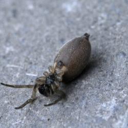 Glasvleugelspinnendoder met een Clubiona spec. als (typerende) prooi spin